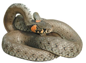 Eulbergs heimische Gefilde: Heimische Schlangen