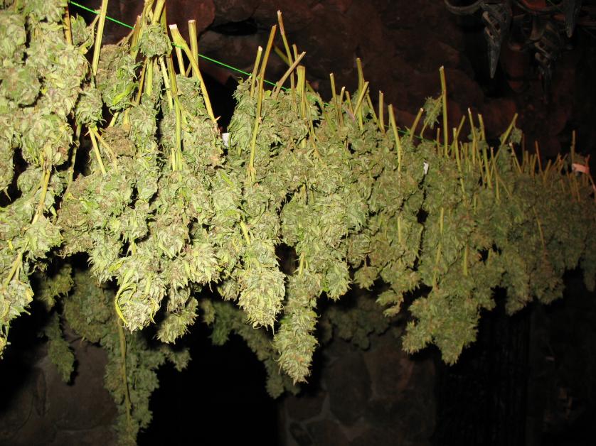 Gute Nase – Polizeit findet halbe Tonne Marihuana